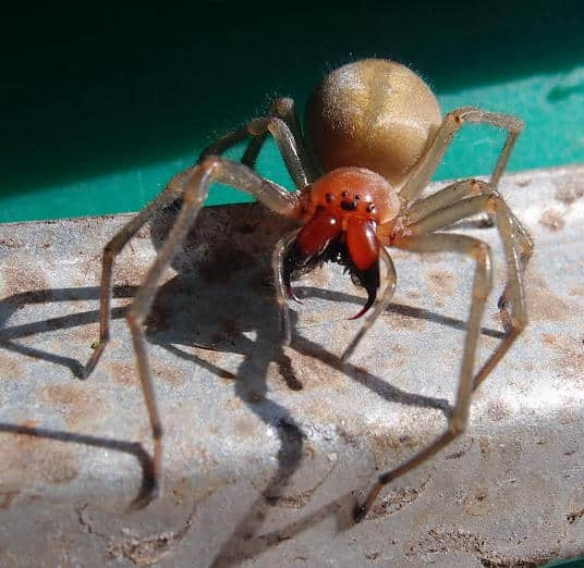 Yellow Sac Spider  closeup fangs eyes
