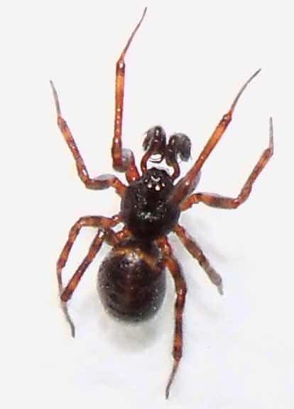 Male False Widow USA