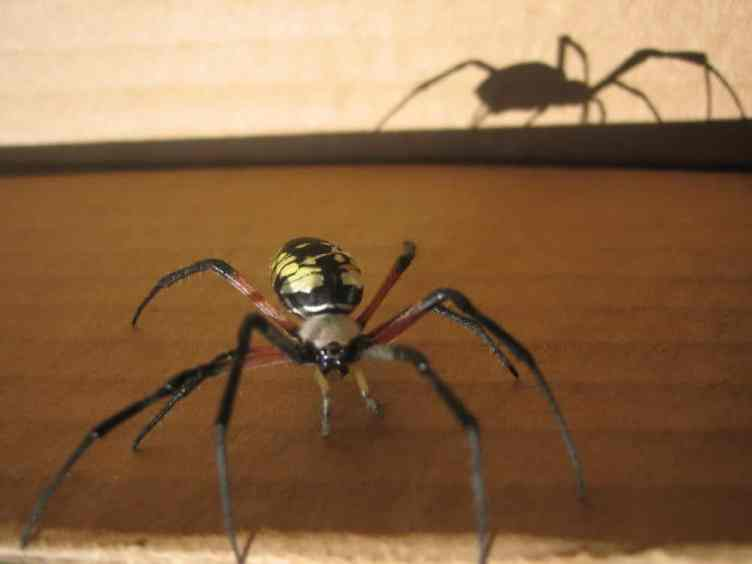 Black and Yellow Argiope walking