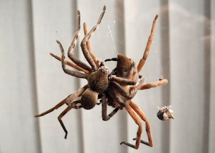 Rain Spider