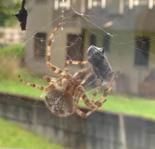 Araneus Diadematus cross orb weaver in web