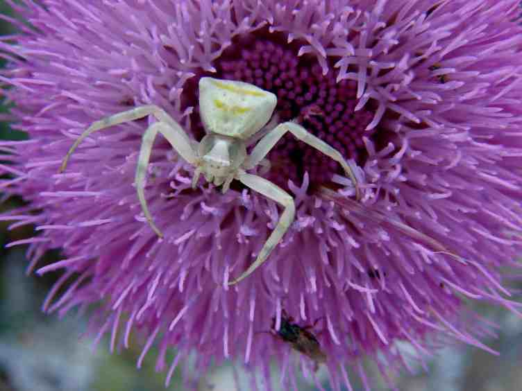 White Crab Spider20