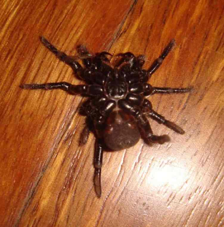 Funnel Web Spider from below