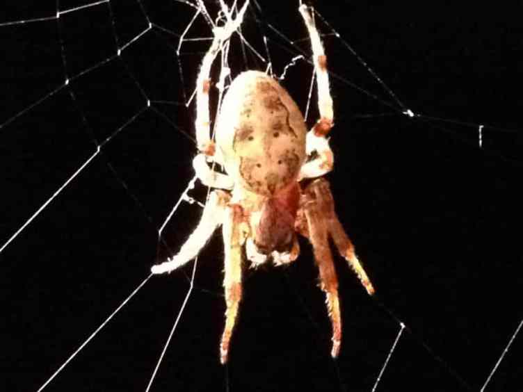Furrow Spider larinoides cornutus