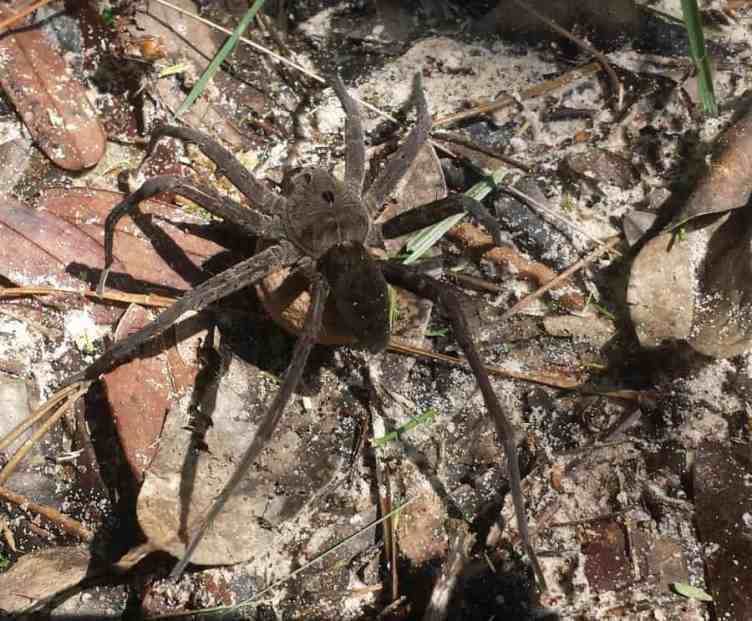 Dolomedes triton with egg sac too