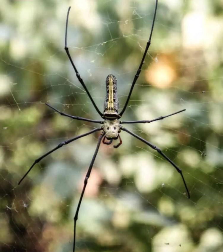 Nephila sp. Unknown