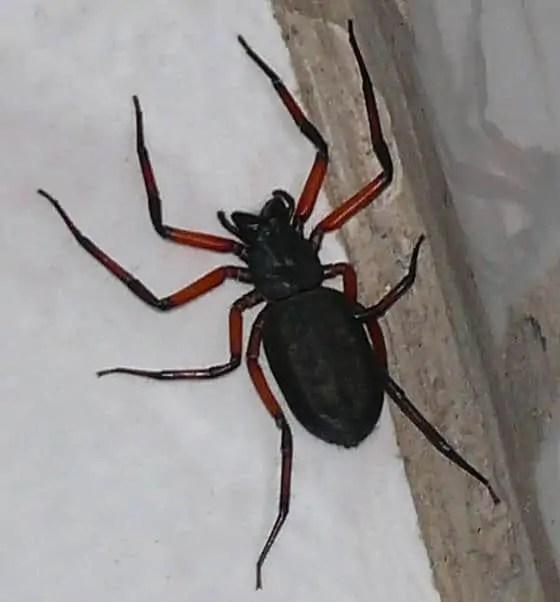 Scorpion Spider