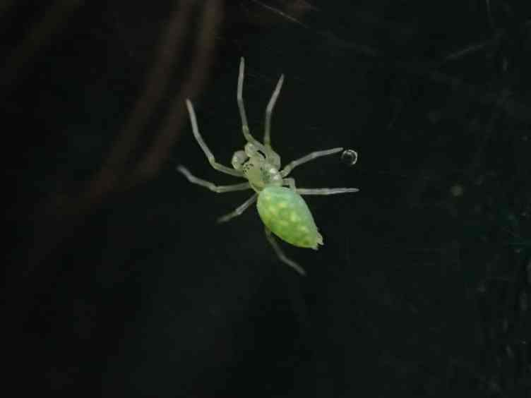 Maybe a green lynx spider