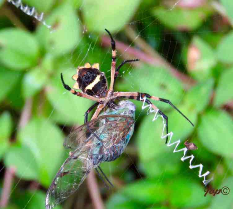 Silver Argiope with prey in web