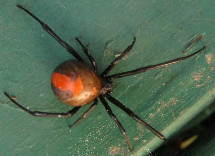 Redback Spider australia latrodectus hasselti