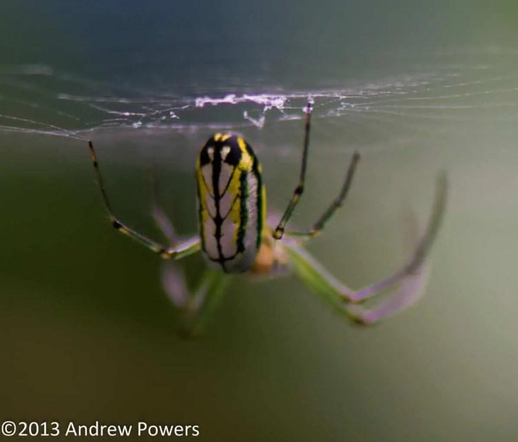 Leucage venusta orb weaver yellow back abdomen