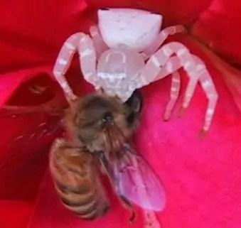 misumena white flower crab spider