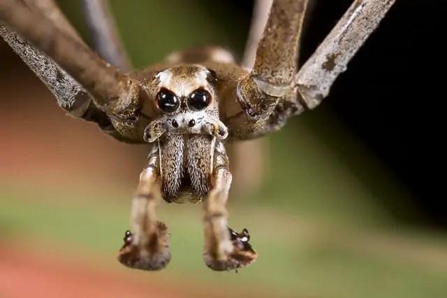 Ogre Faced Spider Closeup