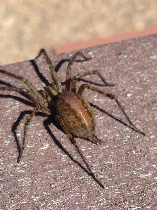 Grass Spider from behind spinnerets