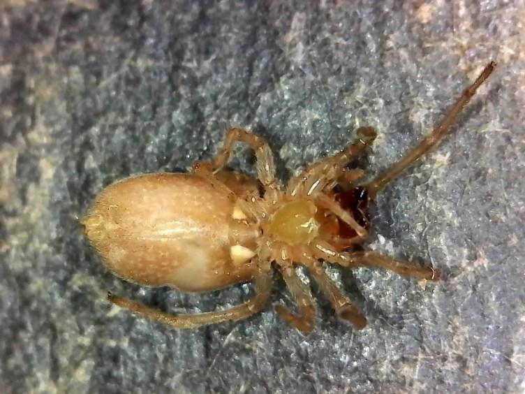 Long Legged Sac Spider