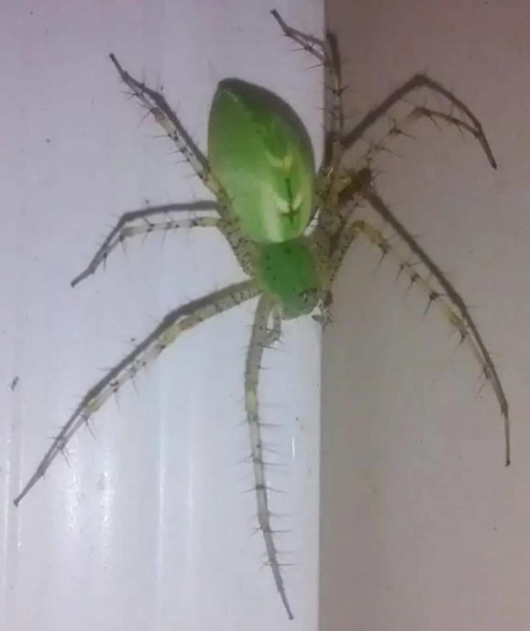 Green Lynx Spider gravid