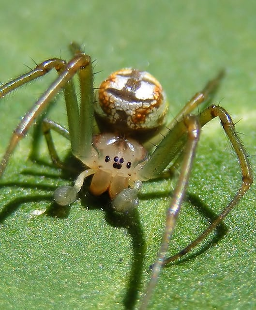 Festive March Spider17
