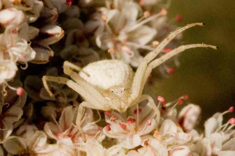 White Crab Spider 17
