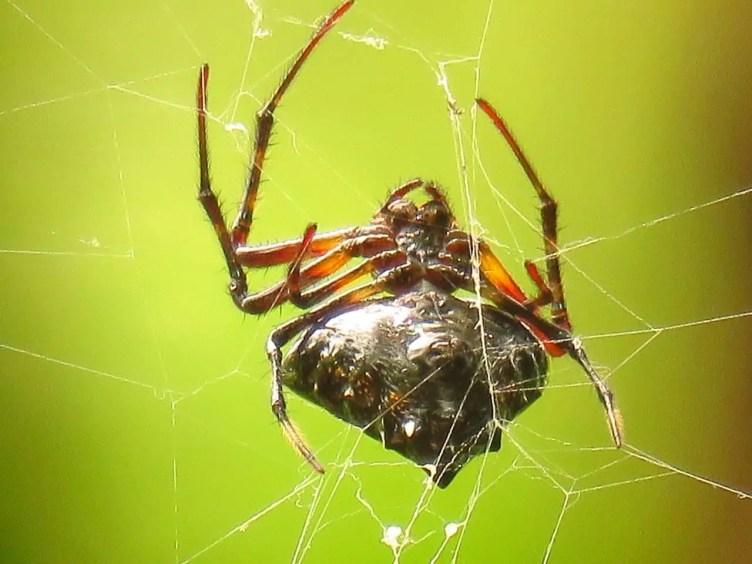 Triangulate Orb Weaver upside down in web