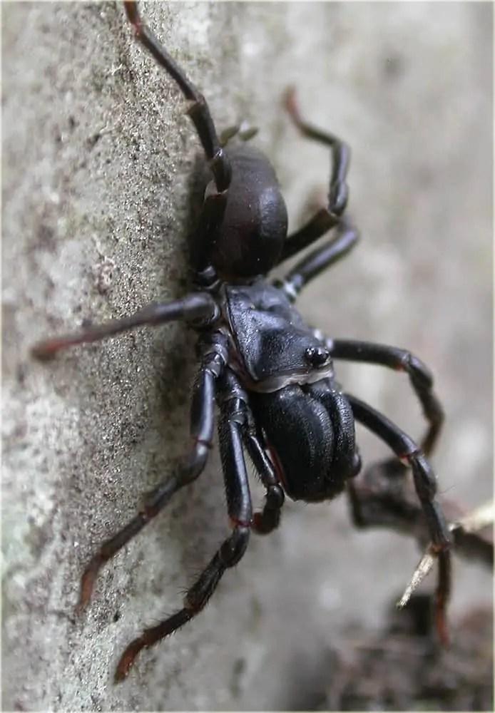 Purseweb Spider