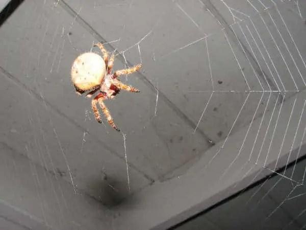Garden Orb Weaver in web
