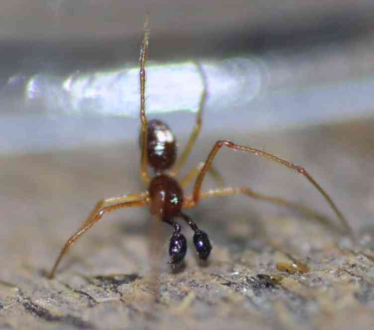 Ant Mimicking Spider