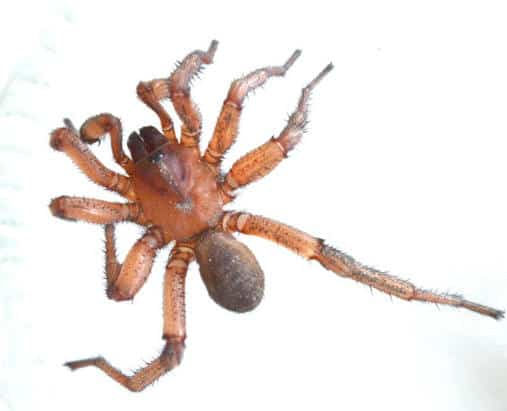 Brown Trapdoor Spider