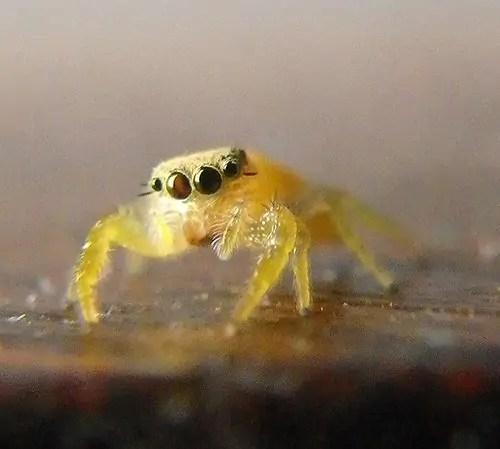 Jumping Spider yellow face closeup