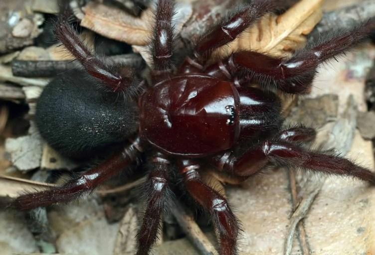 The Sydney funnel-web spider (Atrax robu