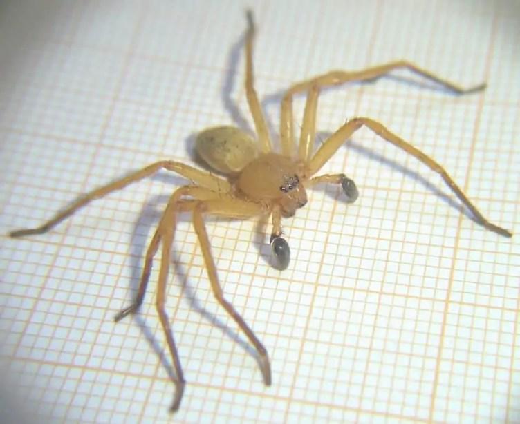 Male Huntsman Spider