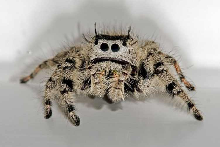 Jumping Spider cream colored black large eyes closeup