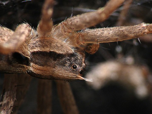 Wolf Spider closeup eyes