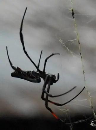 Nephila sp. Kenya