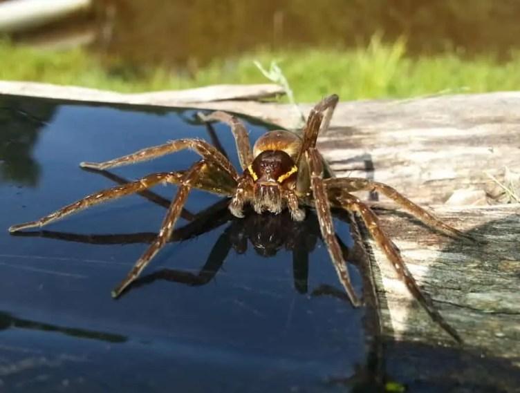 Dolomedes Vittatus Raft Spider brown