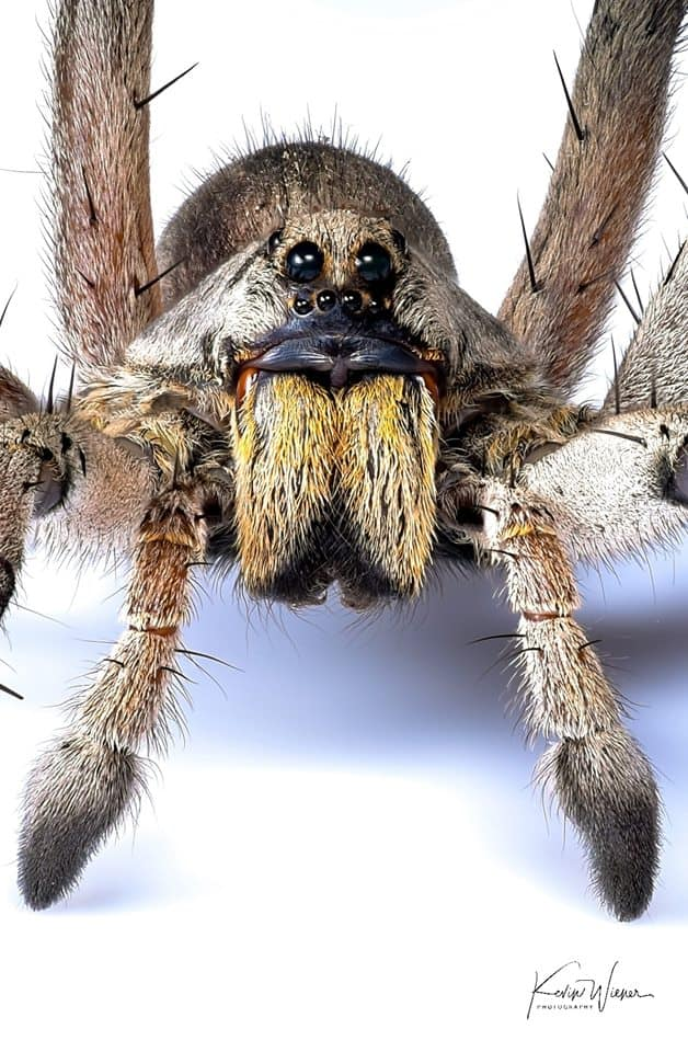 Carolina Wolf Spider by Kevin Wiener closeup