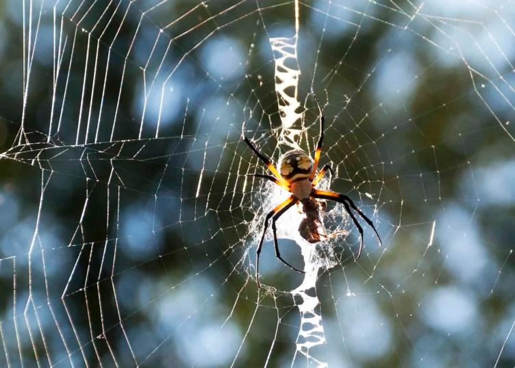 Argiope spider close