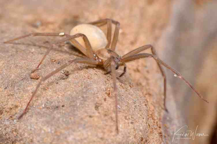 Brown Recluse by Kevin Wiener