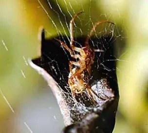 leaf curling spider Phonognatha graeffei