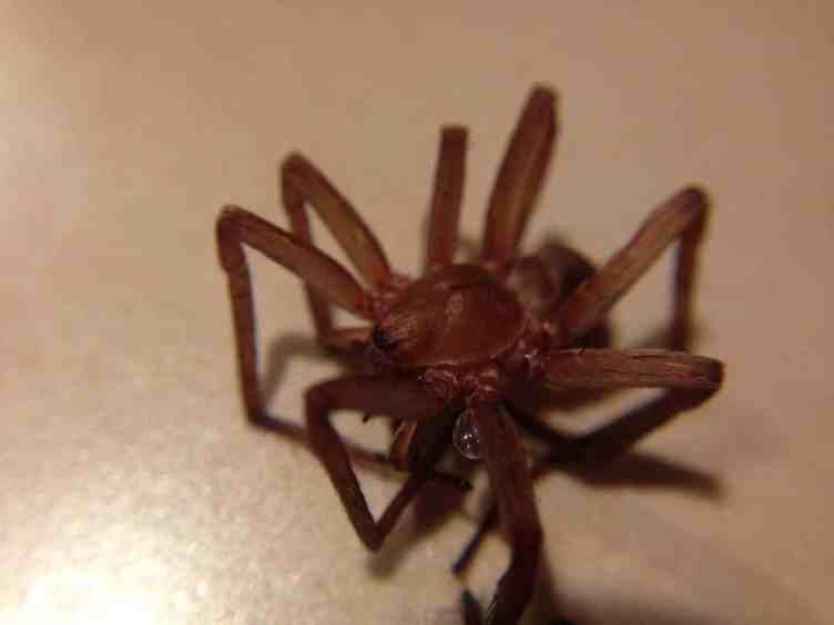 Titiotis species (Recluse look alike