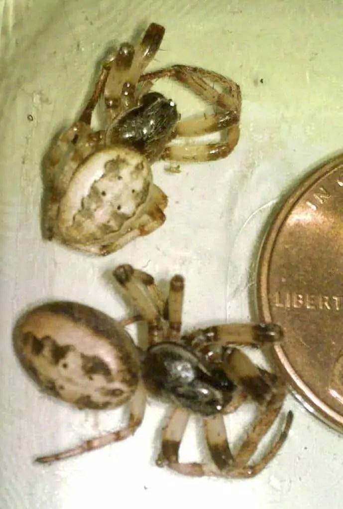Furrow orb weaver larinoides cornutus coin size comparison