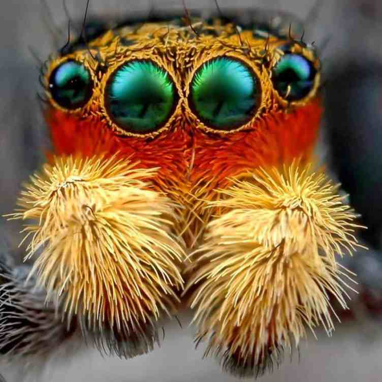 Peacock Jumping spider eyes red orange iredescent