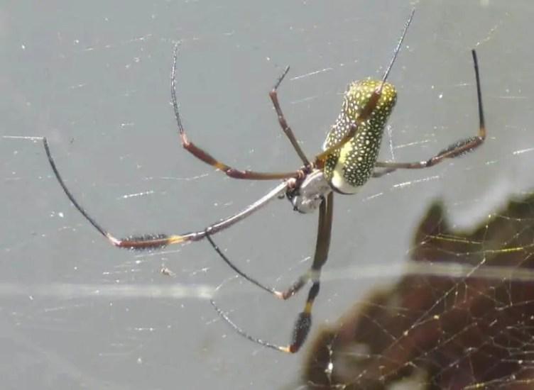 Nephila sp. Venezuela