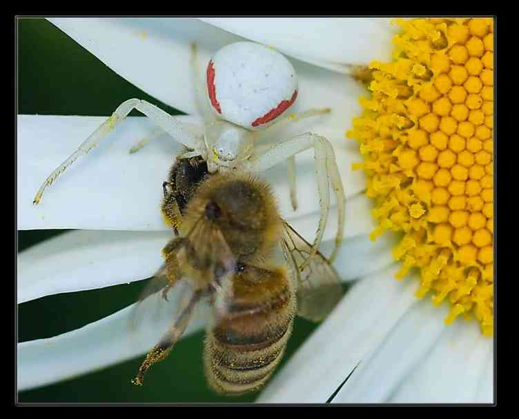 Goldenrod Spider with prey in white flower