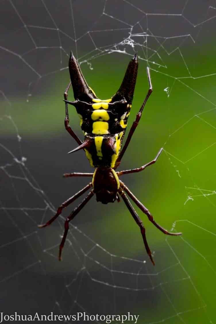 Arrow Shaped Micrathena in web,  Micrathena sagittata black and yellow