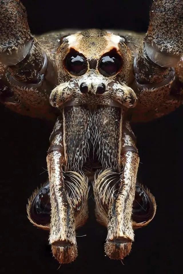 Net Casting spider (Deinopis subrufa) closeup eyes fangs