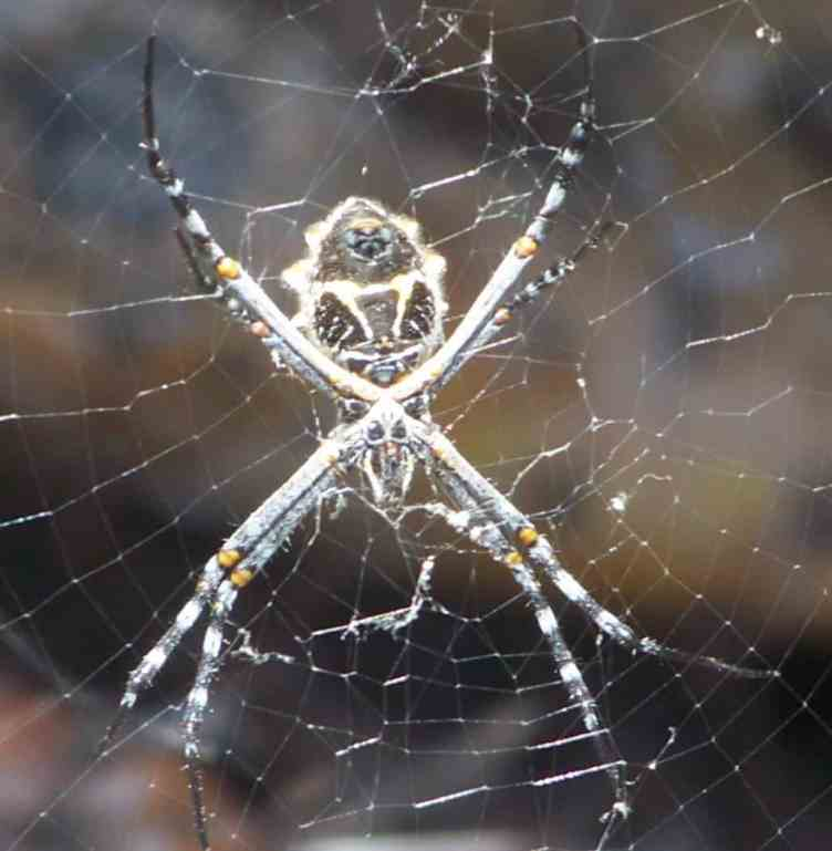 Argiope Lobata web