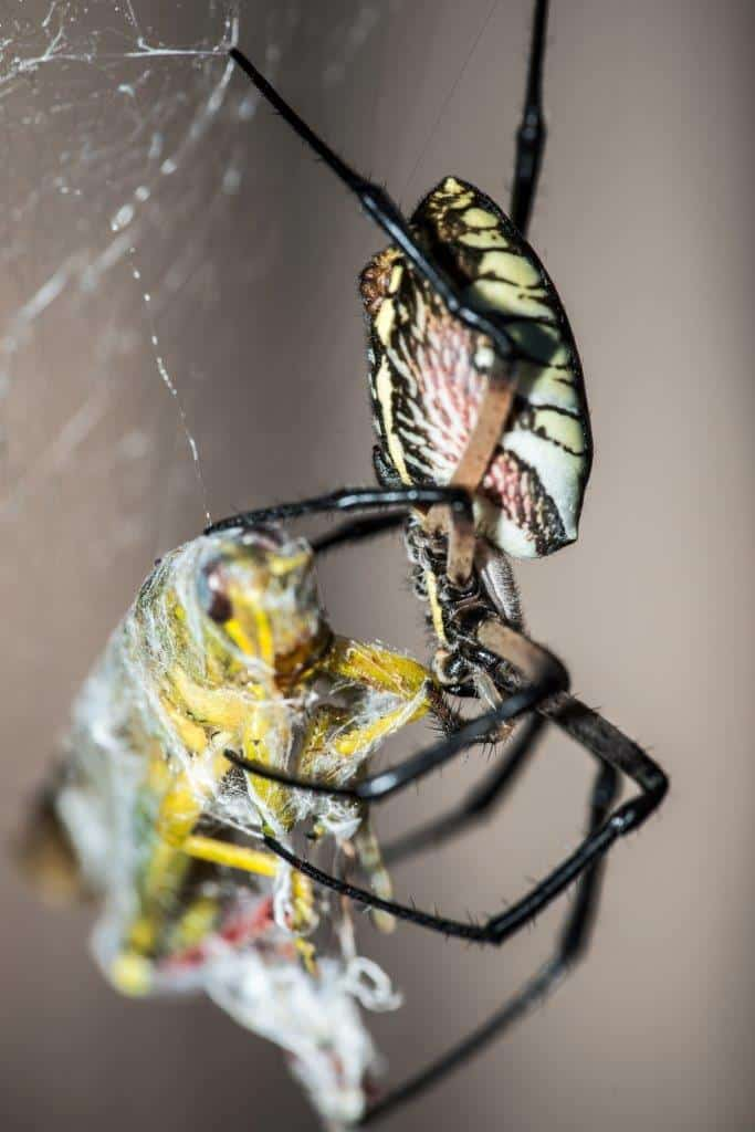 Black and Yellow Argiope with prey