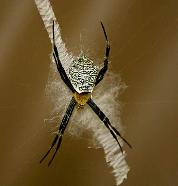 Argiope with web