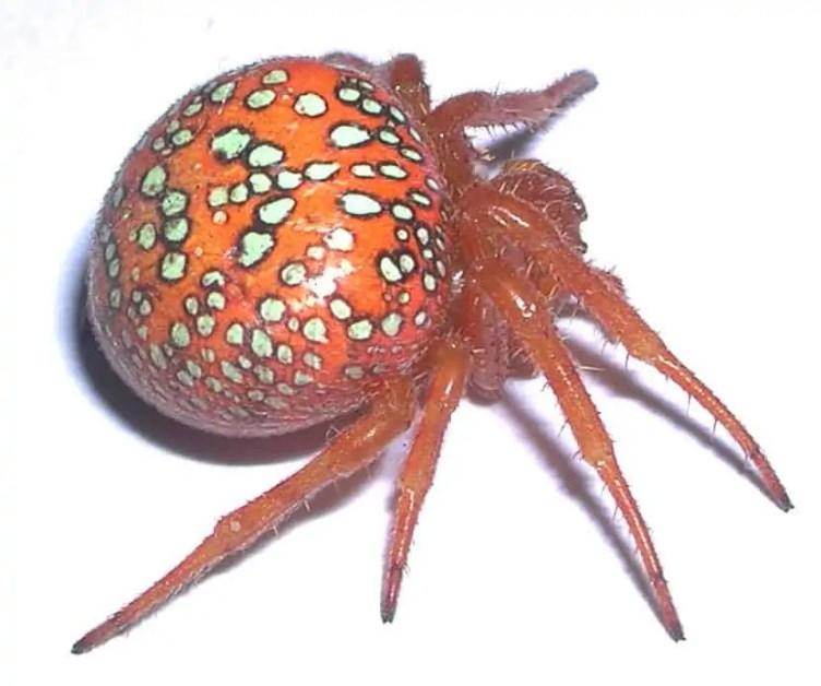 Araneus Iviei