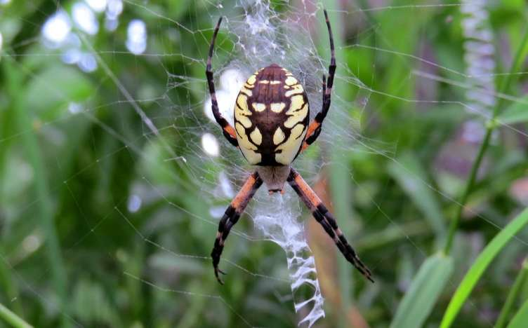 Black and Yellow Argiope large